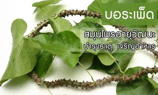 บอระเพ็ด สมุนไพรไทย