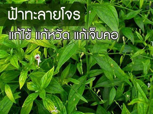 ฟ้าทลายโจร สมุนไพรไทย