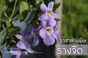 รางจืด สมุนไพรไทย