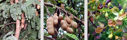 มะขาม สมุนไพรไทย