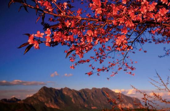 เส้นทางซากุระสีหวาน ความงามที่ยิ่งใหญ่บนขุนเขา สันป่าเกี๊ยะ เชียงใหม่