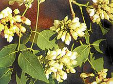 ดอกไม้ประจำจังหวัดนครราชสีมา